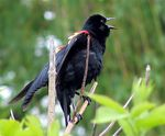 Title: Red-Winged BlackBirdCanon PowerShot S1 IS