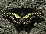 Title: Black swallowtail