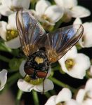 Title: Syrphidae