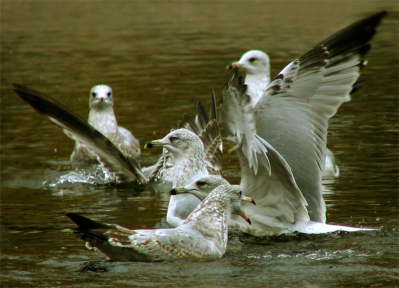 Meeting of Gulls