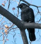 Title: American Crow