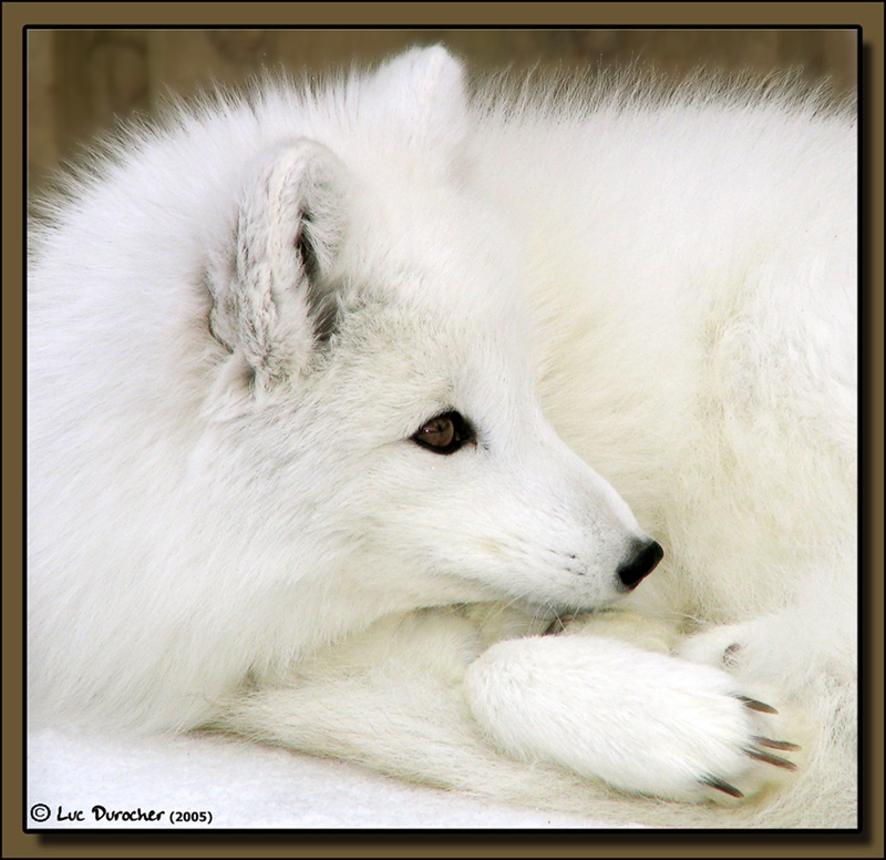 Arctic Fox: a cute animal