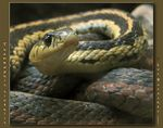 Title: A Common Garter SnakeCanon PowerShot S1 IS