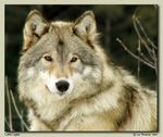 Title: Grey Wolf (male): a portrait