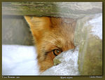 Title: Just Missed: Red Fox (female)