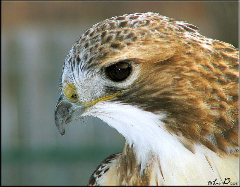 Red-tailed Hawk: a portrait