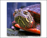 Title: Painted Turtle IV: a close-up portrait