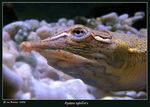 Title: Spiny Softshell Turtle II: a profile