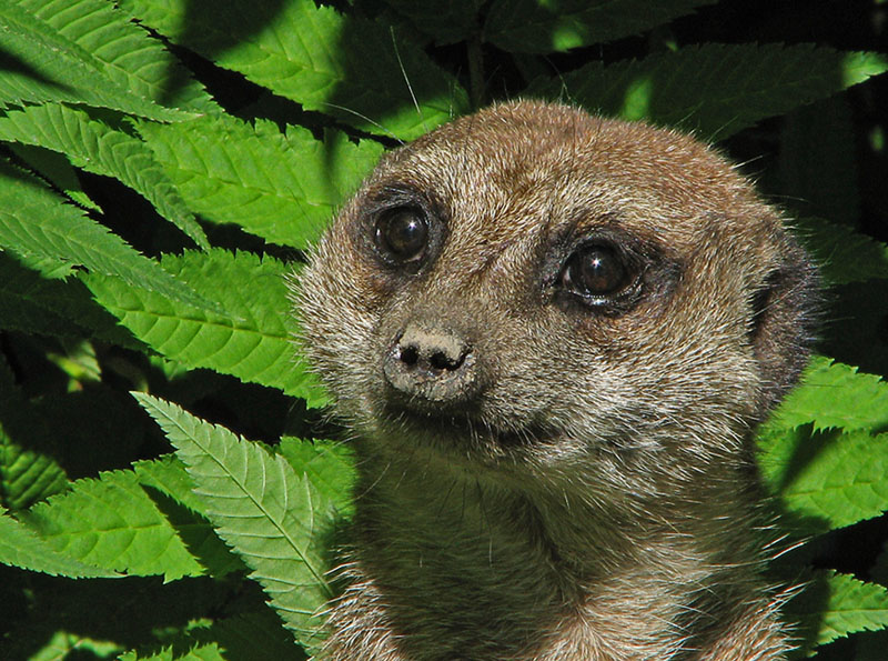 A Meercat: for his eyes only!