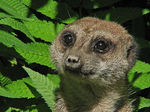 Title: A Meercat: for his eyes only!