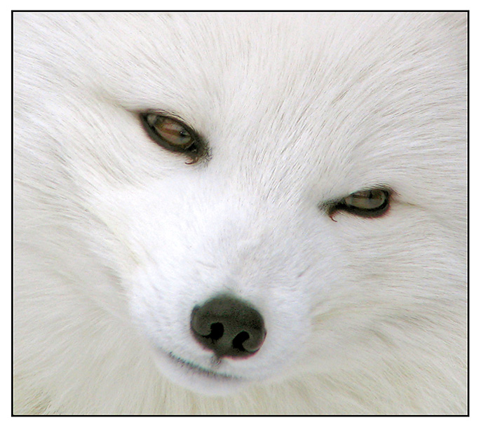 Artic Fox: a cute animal II