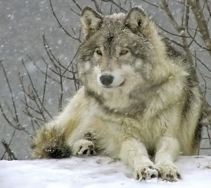 Rests with wolves under the snow
