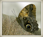 Title: Owl Butterfly Camera: Canon PowerShot S1 IS