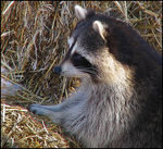 Title: The Northern Racoon