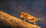 Title: Common House Cricket