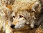 Title: A Coyote