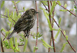 Title: Red-Winged Blackbird (female) II