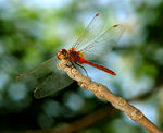 Title: White-Faced Meadowhawk I