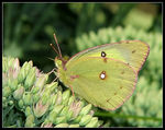 Title: Finally, a Clouded Sulphur!