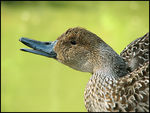 Title: Northern Pintail (female)
