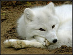 Title: Artic Fox: a cute animal VI