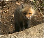 Title: Red Fox Series (21)