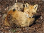 Title: Red Fox Series (twelfth)