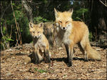 Title: Red Fox Series (fifteenth)Canon PowerShot S2 IS