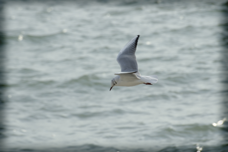 Seagull on fly