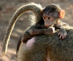 Title: Baby Baboon