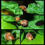 Title: Lady Bugs In Action