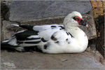 Title: nepalese duck
