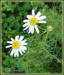 Title: late daisies