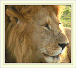 Title: lion head 2 Camera: Olympus Camedia C-765 UZ