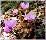 Title: forest pinks