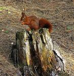 Title: the red squirrel