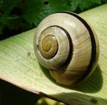 Title: Caracol - snail