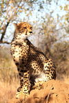 Title: Cheetah on the Lookout
