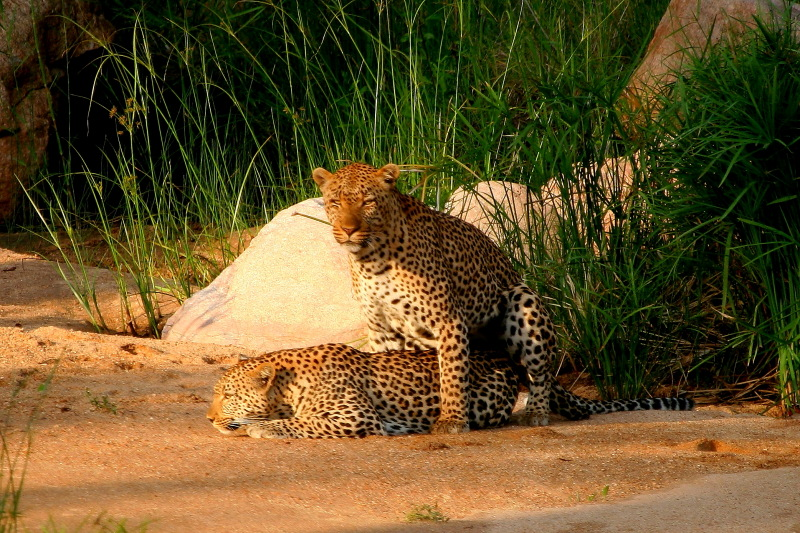 Mating Leopards