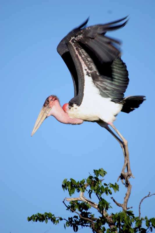 Marabou Stork - Beauty is not Everything