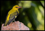 Title: Indian Golden Oriole