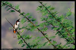 Title: Red whiskered Bulbul