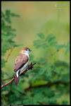 Title: Indian Silverbill :POV2