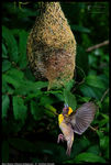 Title: Into the nest-- Baya weaver
