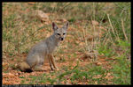 Title: Bengal fox (Vulpes bengalensis)