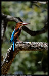 Title: White-throated Kingfisher For Ram