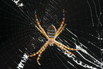 Title: HappyNew Year (orb weaver)