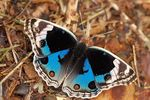Title: Blue Pansy (Junonia orithya)