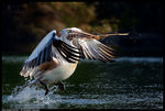Title: Spot Billed Pelican