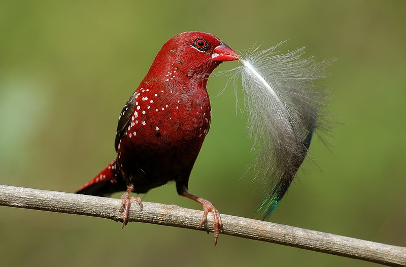 Red Munia-Bed for my children!!